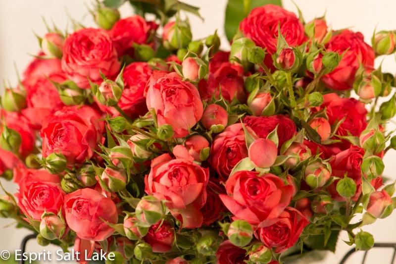 california vs ecuador roses garden roses