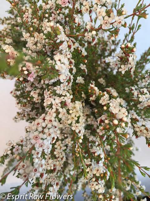 Flower gallery calcynia white mightylinksfo